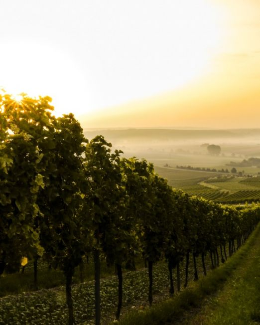 Italian countryside culinary adventure. Vineyards by sunset. Photography credit: Sven Willhelm